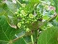 Starr-120620-9741-Jatropha curcas-flowers-Kula Agriculture Park-Maui (24554849184).jpg