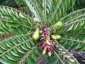 Starr-130221-1595-Averrhoa bilimbi-fruit and flowers-Waihee-Maui (25179782506).jpg