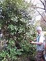 Starr-130304-2023-Laurus nobilis-habit with Janet-Montrose Crater Rd Kula-Maui (24910810400).jpg