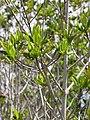 Starr-130703-5577-Rhizophora mangle-leaves-Kealia Pond-Maui (25219400655).jpg