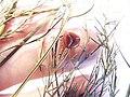 Starr-131208-2712-Asparagus officinalis-voucher 130618 01 fruit-N Kihei Rd Kealia Pond-Maui (25135164891).jpg