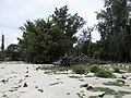 Starr-150327-0684-Juniperus bermudiana-habit-Cable Co Building Sand Island-Midway Atoll (24900708849).jpg
