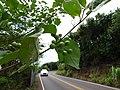 Starr-160919-0733-Solanum torvum-leaves immature fruit-Waihee-Maui (30873401090).jpg