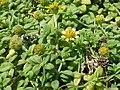 Starr-170328-0746-Melanthera integrifolia-flowers leaves-Waihee Coastal Preserve-Maui (33724232730).jpg