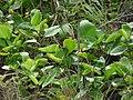 Starr-180505-0657-Kalanchoe pinnata-habit-Honokahau-Maui (43476849671).jpg
