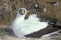 Starr-990526-0949-Sporobolus pyramidatus-near runway with masked boobies-Tern Island-French Frigate Shoals (24500846516).jpg