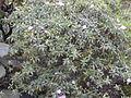 Starr 011205-0015 Melastoma sanguineum.jpg