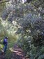 Starr 020518-0004 Cinchona calisaya.jpg