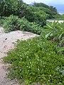 Starr 040125-0127 Jacquemontia ovalifolia subsp. sandwicensis.jpg