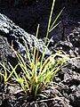 Starr 040410-0085 Unknown cyperaceae.jpg