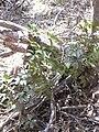 Starr 040812-0050 Schefflera arboricola.jpg