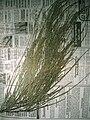 Starr 050326-5284 Casuarina equisetifolia.jpg