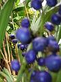 Starr 060826-8656 Dianella sandwicensis.jpg