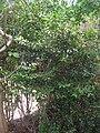 Starr 061105-9609 Psydrax odorata.jpg