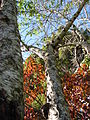 Starr 061231-3046 Prunus persica.jpg