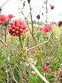 Starr 070308-5452 Calliandra haematocephala.jpg