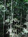 Starr 070321-6127 Phyllostachys nigra.jpg
