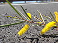 Starr 070402-6323 Acacia aneura.jpg