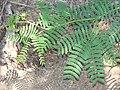 Starr 070404-6600 Prosopis juliflora.jpg