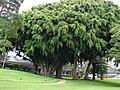 Starr 070404-6635 Ficus benjamina.jpg