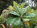Starr 070621-7433 Bocconia frutescens.jpg