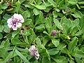Starr 070815-8043 Phyla nodiflora.jpg