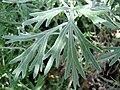 Starr 080117-1910 Artemisia australis.jpg