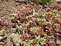 Starr 080415-4008 Polycarpon tetraphyllum.jpg