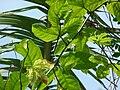 Starr 080531-4946 Passiflora edulis.jpg