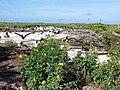 Starr 080605-6429 Euphorbia cyathophora.jpg
