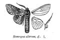 StauropusAlternus.png
