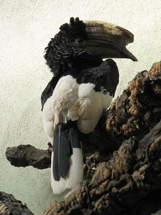 Black-and-white-casqued hornbill - Image: Stavenn Bycanistes subcylindricus 00
