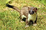Stoat - RSPB Sandy (28058976023).jpg