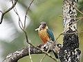 Stork billed kingfisher-kannur-kattampally - 11.jpg
