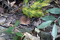 Striped field mouse(js)01.jpg