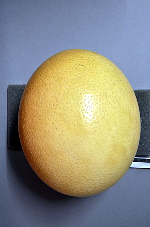 Common ostrich - Egg