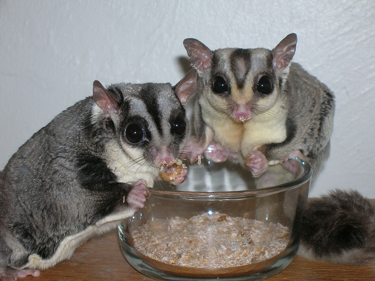 Male and Female Sugar Gliders eating mealworms from a bowl