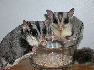 Sugar glider - Mealworms are a favourite food for some gliders kept as pets
