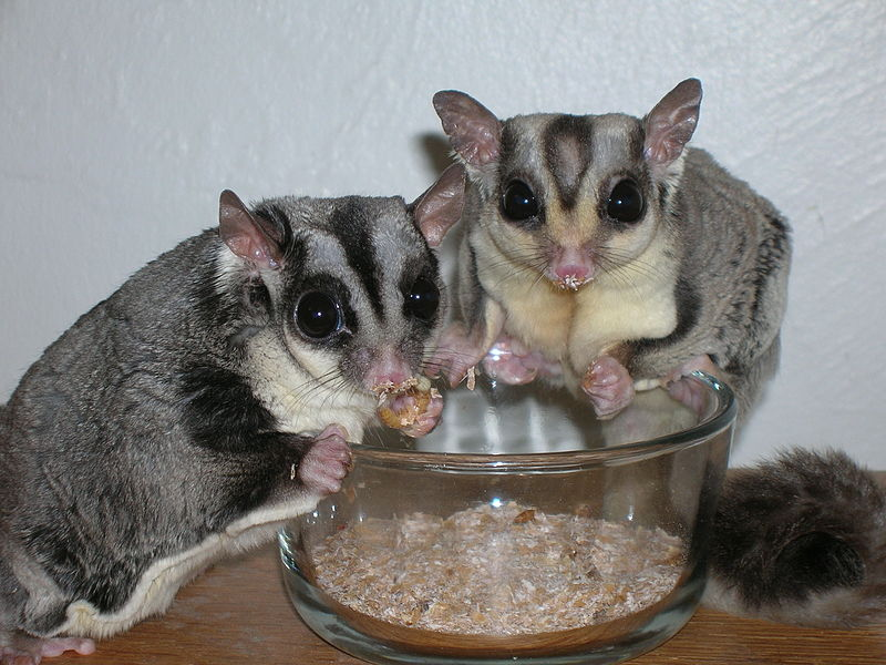 File:Sugar Gliders eating Mealworms.jpg