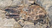 Sulcavis skull