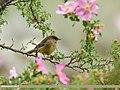 Sulphur-bellied Warbler (Phylloscopus griseolus) (39760416421).jpg