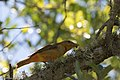 Summer Tanager ( 1st year male) Anahuac NWR - Woodlot TX 2018-04-25 12-13-00 (40261461860).jpg
