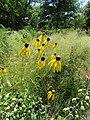 Summer prairie flowers (28190777243).jpg