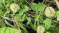 Suriname plants (32694052804).jpg