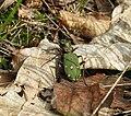Svižník polní (Cicindela campestris).jpg