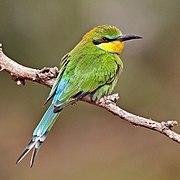 Swallow-tailed bee-eater (Merops hirundineus chrysolaimus).jpg