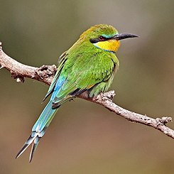 Swallow-tailed bee-eater (Merops hirundineus chrysolaimus).jpg