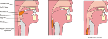 English: diagram of action of swallowing a bol...
