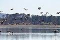 Swans and Shelducks (24424144074).jpg