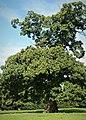 Sweet Chestnut Tree (49345665872).jpg